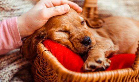 pies spi w legowisku
